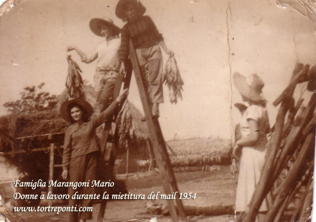 Donne a lavoro mietitura del mais  1954 copia