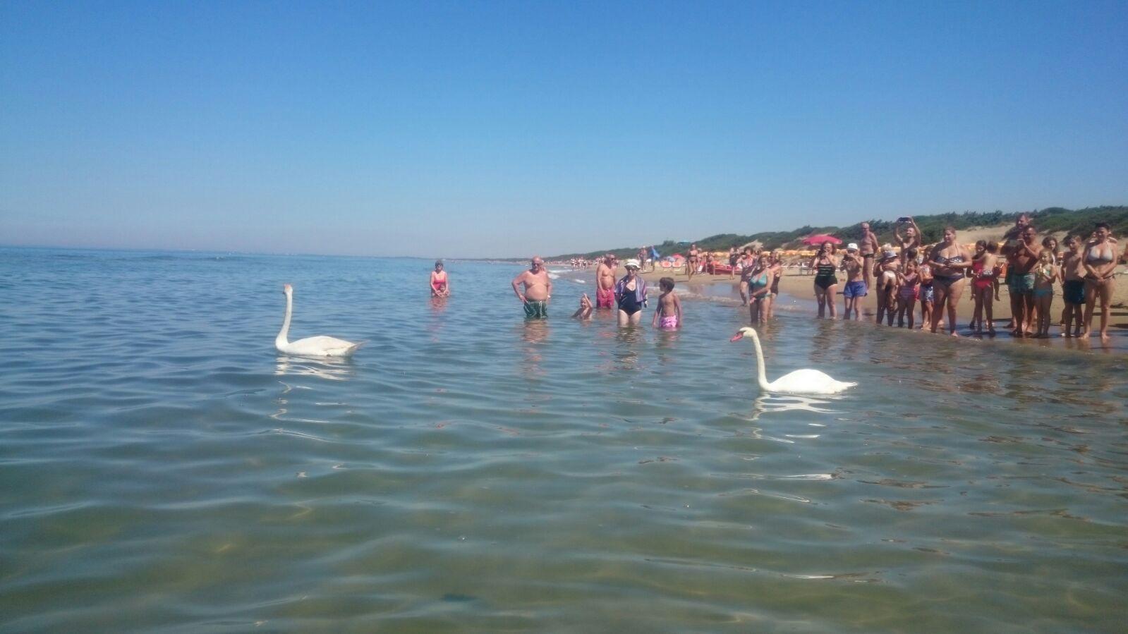 Sabaudia anche i cigni fanno il bagno a mare sorpresa - Bagno al mare ...