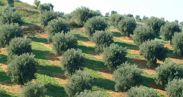 Pontinia 61enne denunciato per il furto di 15 piante di for Acquisto piante ulivo